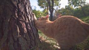 Gatto smarrito arancio nel territorio d'esplorazione e nell'affilatura del parco della città di Odessa Ukraine dei suoi artigli c archivi video