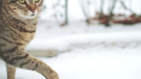 Gatto smarrito che cammina sulla neve alle vie di Odessa video d archivio
