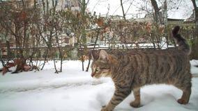 Gatto smarrito che cammina sulle vie di vecchia città Odessa all'inverno e che cerca alimento stock footage