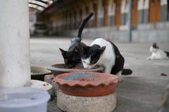Gatto smarrito che mangia alimento Fotografie Stock Libere da Diritti