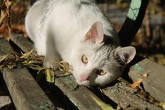 Gatto smarrito di bianco che guarda intento nella macchina fotografica immagine stock