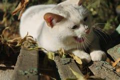 Gatto smarrito di bianco che sbadiglia su un vecchio banco di parco fra le foglie di autunno Immagine Stock Libera da Diritti