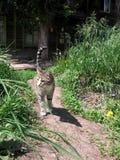 Gatto smarrito grigio che cammina sulla strada di estate vicino alla vecchia casa di legno nell'erba fotografie stock libere da diritti