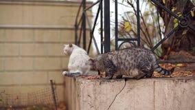 Gatto smarrito grigio che mangia alimento all'aperto nel parco di Odessa archivi video