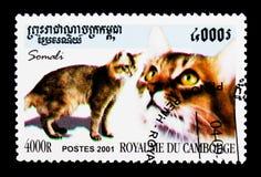 Gatto somalo (catus) di silvestris del Felis, serie dei gatti domestici, circ Fotografia Stock Libera da Diritti