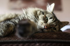 Gatto sonnecchiante Immagini Stock