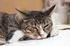 Gatto sonnolento Fotografia Stock Libera da Diritti