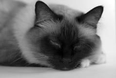 Gatto sonnolento Immagini Stock Libere da Diritti