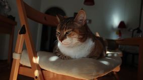 Gatto sonnolento stock footage