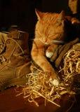 Gatto sonnolento dell'azienda agricola Fotografia Stock Libera da Diritti