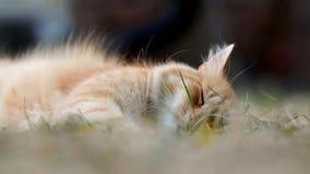 Gatto sonnolento dello zenzero che riposa nell'erba verde video d archivio