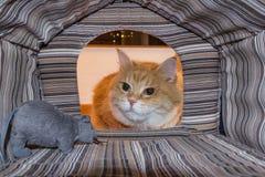 Gatto sorpreso dal suo giocattolo del topo Fotografia Stock Libera da Diritti