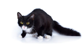Gatto spaventato in bianco e nero con gli occhi gialli. Fotografie Stock Libere da Diritti