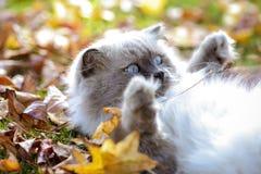 Gatto spaventato sulla terra dell'interno Come calmare spaventato Fotografie Stock