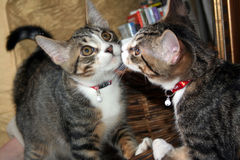 Gatto in specchio Fotografia Stock