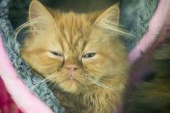 Gatto stanco rosso Fotografia Stock Libera da Diritti