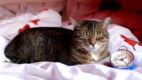 Gatto stanco sveglio che si trova accanto al vecchio orologio d'annata stock footage