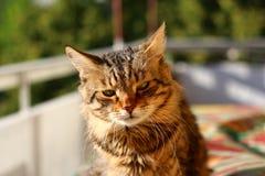 Gatto a strisce Immagine Stock
