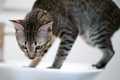Gatto a strisce Fotografie Stock