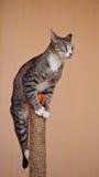 Gatto a strisce con le zampe bianche Fotografie Stock Libere da Diritti
