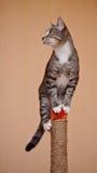 Gatto a strisce con le zampe bianche Immagine Stock