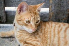 Gatto a strisce giallo Fotografie Stock