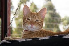 Gatto a strisce giallo in amaca Fotografia Stock