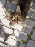 Gatto a strisce grigio che cerca sulla pavimentazione fotografia stock