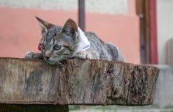 Gatto a strisce grigio che si trova su un ceppo Immagini Stock