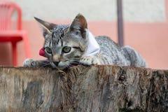 Gatto a strisce grigio che si trova su un ceppo Immagini Stock Libere da Diritti