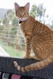 Gatto a strisce, nella finestra Fotografia Stock