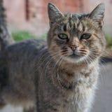 Gatto a strisce sulla via, gatto della via Fotografia Stock