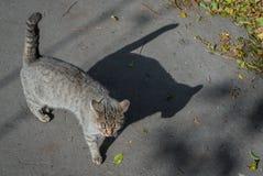 Gatto a strisce sulla via, gatto della via Fotografie Stock Libere da Diritti