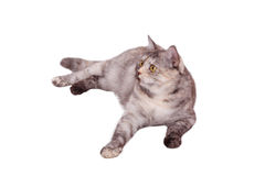 Gatto su bianco Fotografia Stock Libera da Diritti