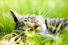 Gatto su erba verde Fotografia Stock Libera da Diritti