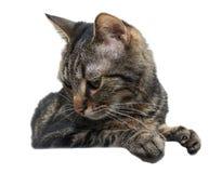 Gatto su fondo bianco che guarda giù Fotografia Stock