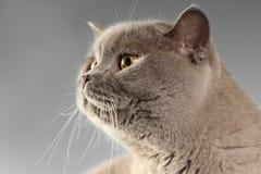 Gatto su fondo grigio Fotografie Stock Libere da Diritti