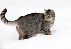 Gatto su neve bianca Fotografie Stock Libere da Diritti