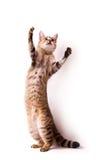 gatto su priorità bassa bianca Fotografia Stock