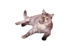 Gatto sul bianco Fotografia Stock
