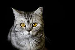 Gatto sul nero Fotografia Stock Libera da Diritti