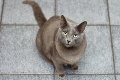 Gatto sul pavimento che osserva in su attendente Fotografie Stock