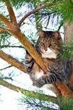 Gatto sul pino Fotografia Stock Libera da Diritti