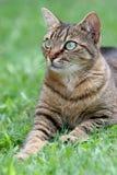 Gatto sul ritratto dell'erba Fotografia Stock
