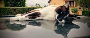 Gatto sul voiture della La di sur le toit de del tetto/chiacchierata dell'automobile Fotografie Stock Libere da Diritti
