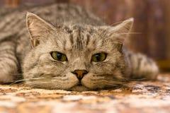 Gatto sulla moquette Fotografia Stock Libera da Diritti