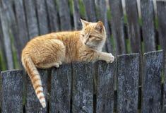 Gatto sulla rete fissa di legno Fotografia Stock