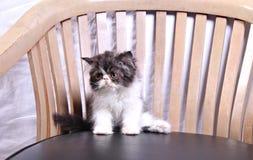 Gatto sulla sedia Fotografie Stock Libere da Diritti