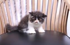 Gatto sulla sedia Fotografia Stock Libera da Diritti