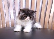 Gatto sulla sedia Fotografia Stock